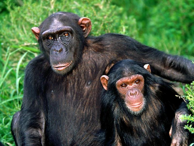 دانلود پاورپوینت بررسی انواع میمون از نظر طبقه بندی جیره و شکل کلی