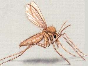 دانلود پاورپوینت با موضوع پشه خاکی - مورفولوژی پشه خاکی - ببیماری مالاریا