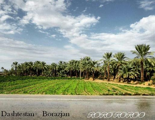 تصویری زیبا از نخلستان برازجان