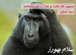 میمون ها گردو ها را رها نمیکنند ، شما چطور؟