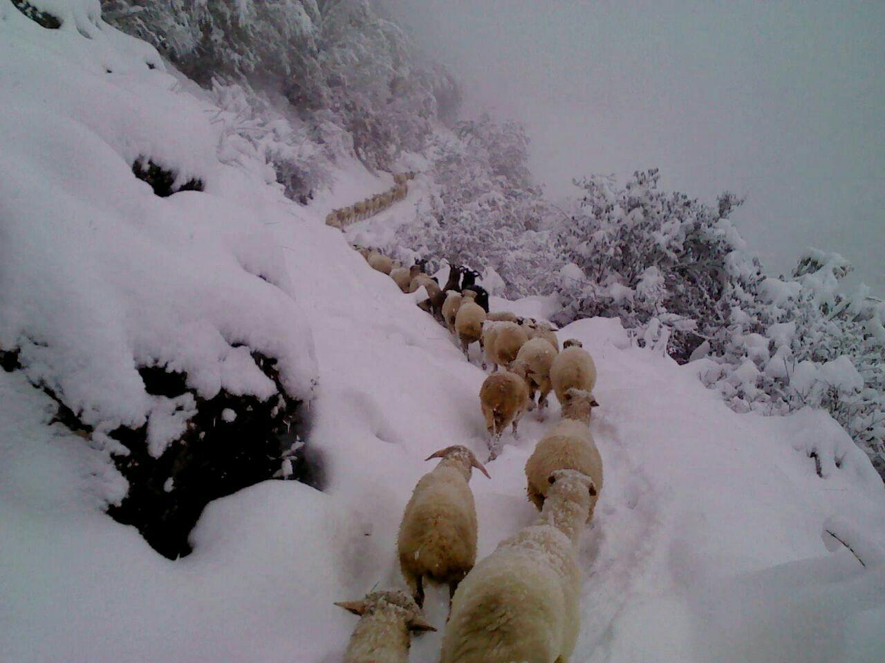 گوسفندان گرفتار شده در برف