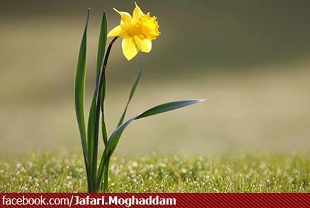گل یاس - شب میلاد حضرت زهرا سلام الله علیها