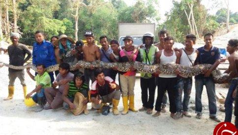 به دام انداختن مار پایتون 8 متری در مالزی , جالب و خواندنی
