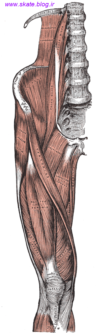 http://s7.picofile.com/file/8247434684/quadriceps1.png