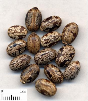 از این دانه های روغن گیری میشود و روغن کرچک استحصال میشود