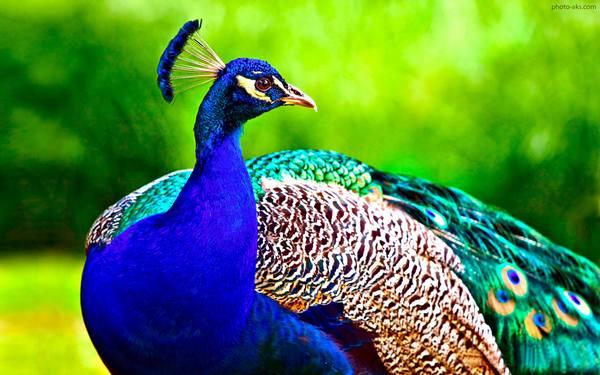 طاووس من ! حتی تو هم در حسرت رنگی !