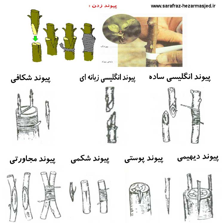 www.sarafraz-hezarmasjed.ir پیوند