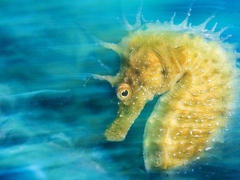 اسب دریایی نر ،حیوانی که باردار می شود ؟! , علمی ودانستنی ها