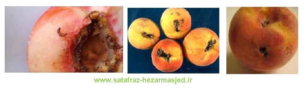 www.sarafraz-hezarmasjed.ir آفات بادام