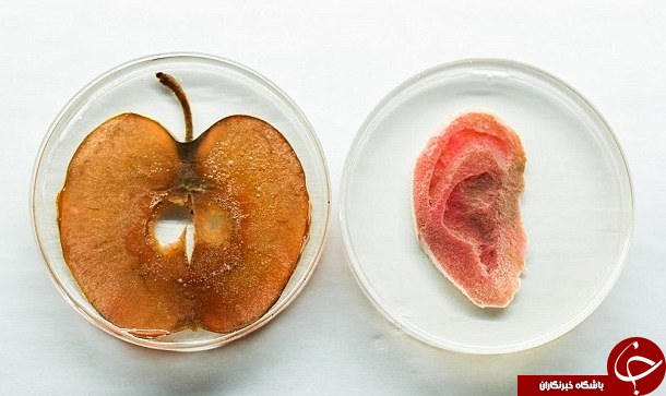 کاشت گوش انسان در آزمایشگاه با سیب!! +عکس , علمی ودانستنی ها
