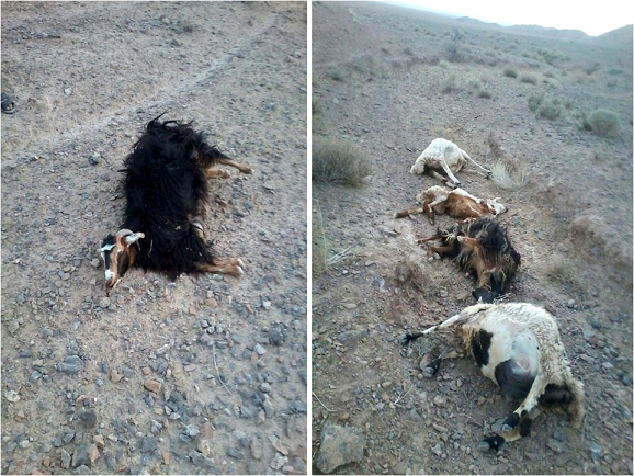 گرگ ها در روستای چاپایاب شهرستان زیرکوه 10 راس گوسفند را دریدند
