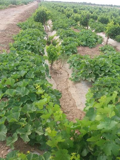 باغ انگور و صیفی