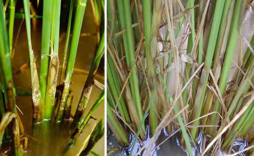 www.sarafraz-hezarmasjed.ir علایم بیماری شیت بلایت برنج
