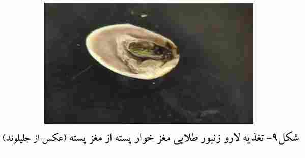 تغذیه لارو زنبور مغزخوارپسته از پسته