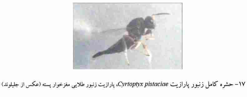 Cyrtoptyx pistaciae (Pteromalidae