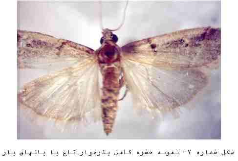 (پروانه بذرخوار تاغ) Proceratia caesariella Rogonet