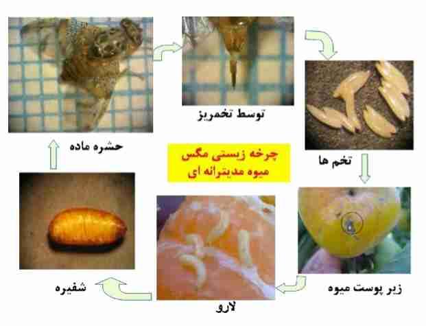 چرخه زیستی مگس میوه مدیترانه ای