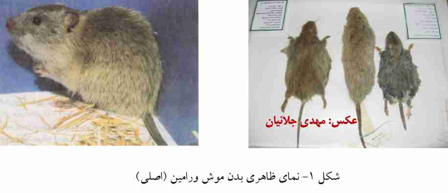 موش ورامین