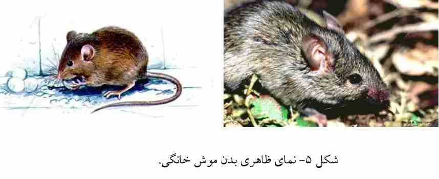 موش خانگی