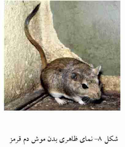 موش دم قرمز