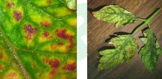 علایم کمبود منیزیوم در گیاهان