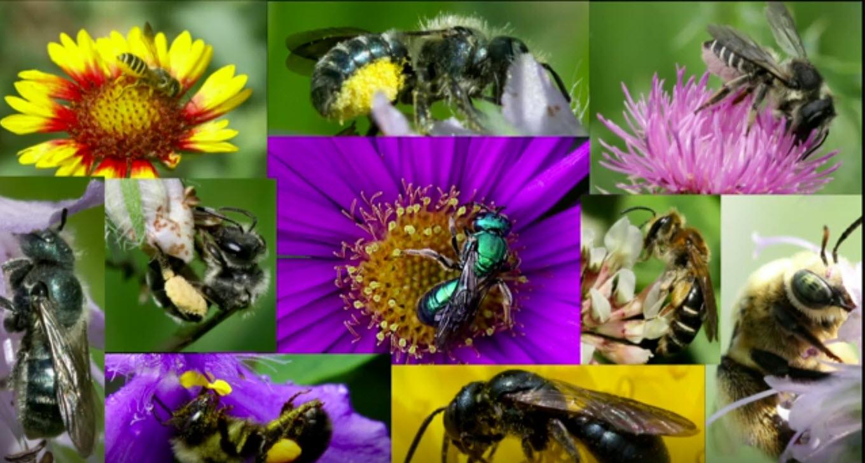 زنبور های گرده افشان