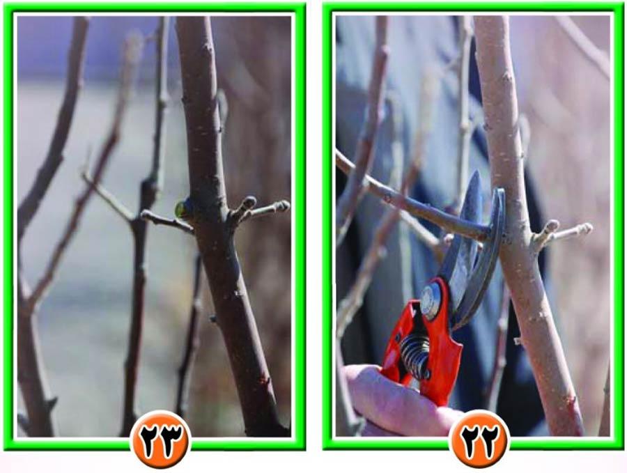 روش تربیت درختان سیب