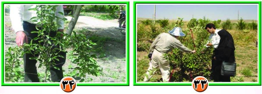 هدایت شاخه در درختان سیب
