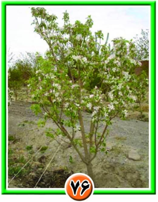 درخت هرس شده در مرحله شکوفه