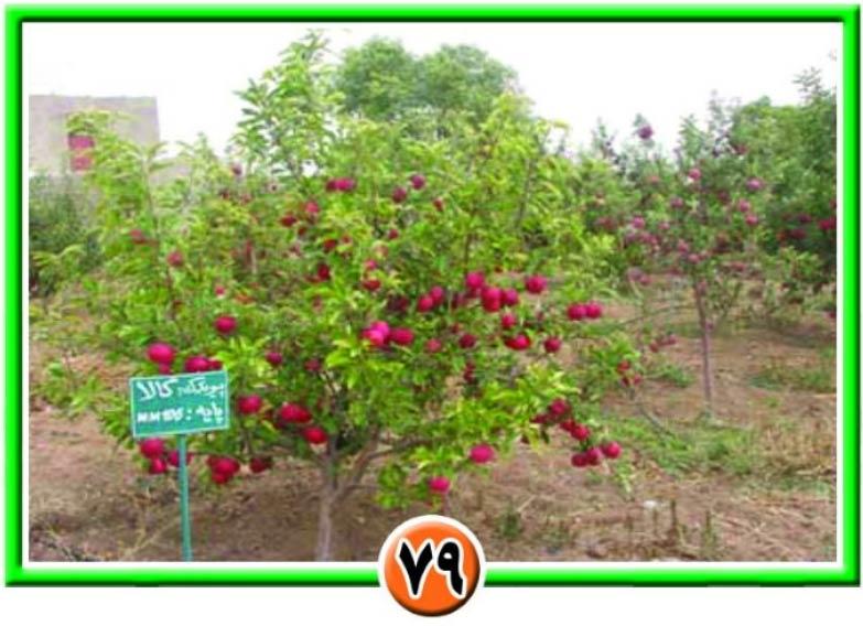 درخت سیب با پایه مالینگ هرس شده