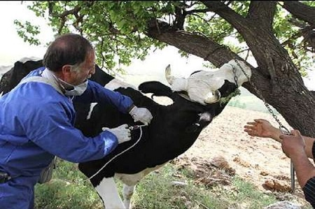 آغاز واکسیناسیون دام علیه تببرفکی در آستارا
