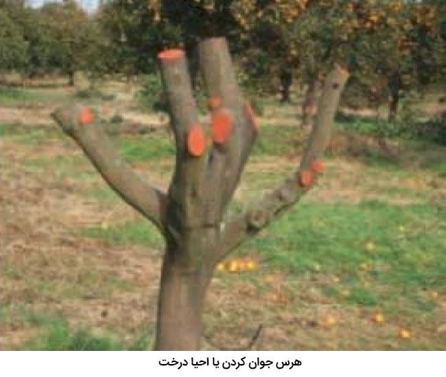 یکی از روشهای هرس مرکبات هرس جوانسازی به منظور احیا درخت می باشد