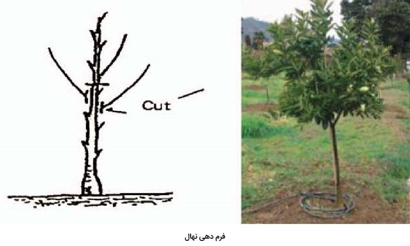 انجام هرس فرم از مهمترین اقدامات در هرس درخت مرکبات می باشد