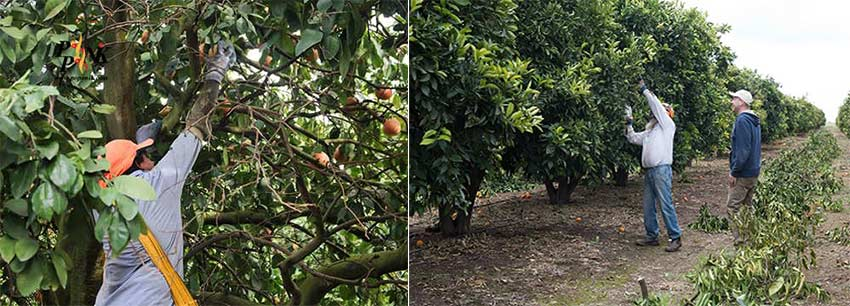 هرس نگهداری به منظور تربیت درختان مرکبات