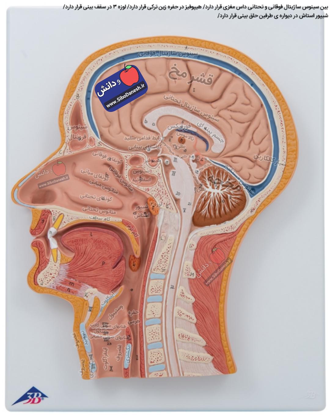 اسامی آناتومی و مکان بخش های مختلف سر و گردن