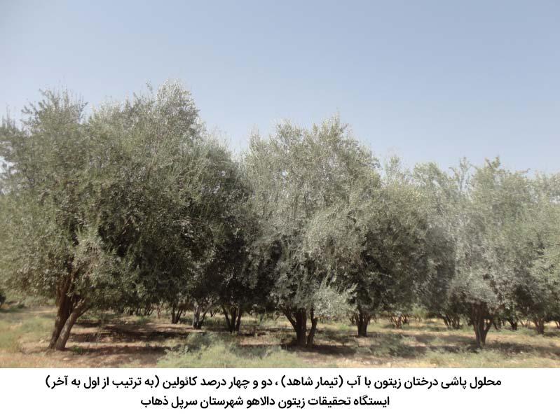 محلولپاشی درختان زیتون با محلول کائولین