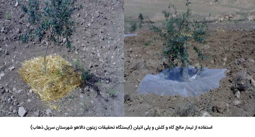 استفاده از تیمار مالچ کاه و کلشو پلی اتیلن جهت کاهش اثرات تنش خشکی درختان زیتون