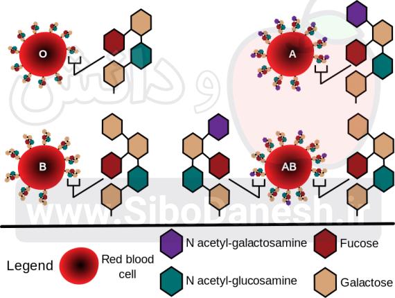 ساختار شیمیایی آنتی ژن های گلبول های قرمز در گروه خونی های مختلف