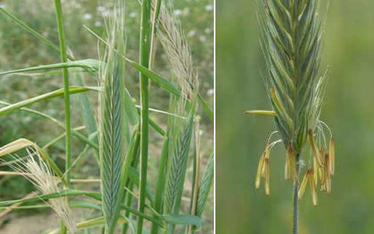 گل آذین سنبله چاودار Secale cereale L