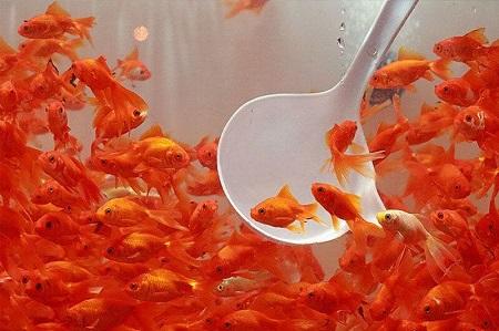 دامپزشکی آستارا: شهروندان ماهی قرمز را از مراکز مجاز خریداری کنند